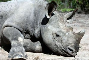 image of the northern white rhino - the sixth extinction